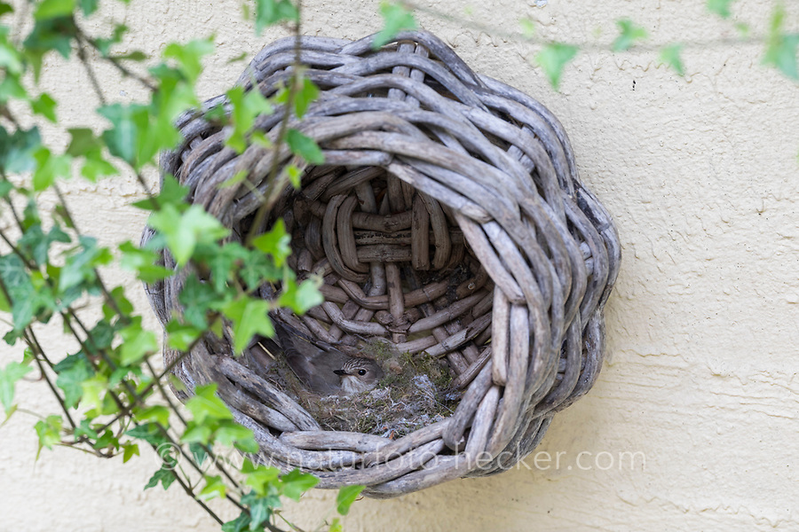 Grauschnäpper, Grau-Schnäpper brütet in einem alten Korb am Haus, Nest, Muscicapa striata, Spotted Flycatcher, Le Gobemouche gris