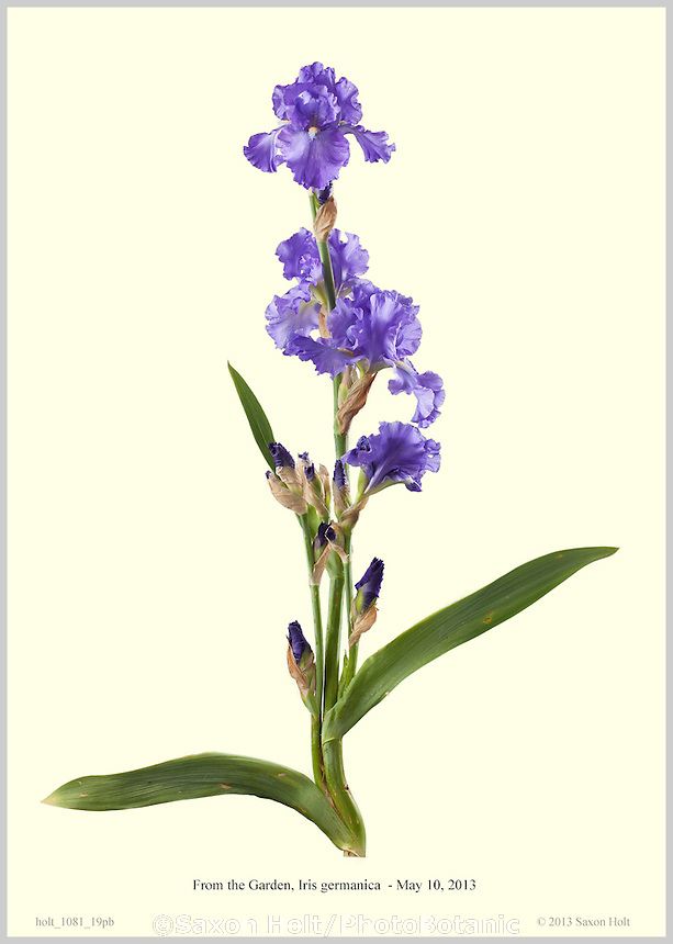 Photobotanic Illustration, From the Garden, Iris germanica, Blue Iris flower