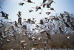 Sandhill Cranes  (Grus canadensis) Platte River, Nebraska