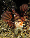 Kenting, Taiwan -- Zebra lionfish, Dendrochirus zebra, at night.<br /> <br /> This visually flamboyant lionfish species is a nocturnal predator.