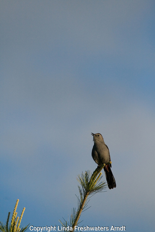Gray catbird (Dumetella carolinensis) singing