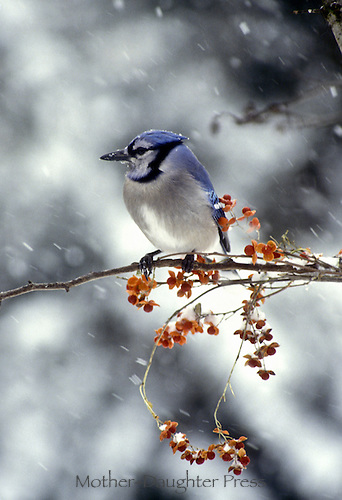 Bluejay, cyanocitta cristata on branch of bittersweet in fast falling snow