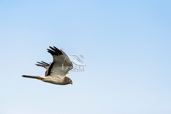 Male Northern Harrier (Circus cyaneus).  California.  Spring.