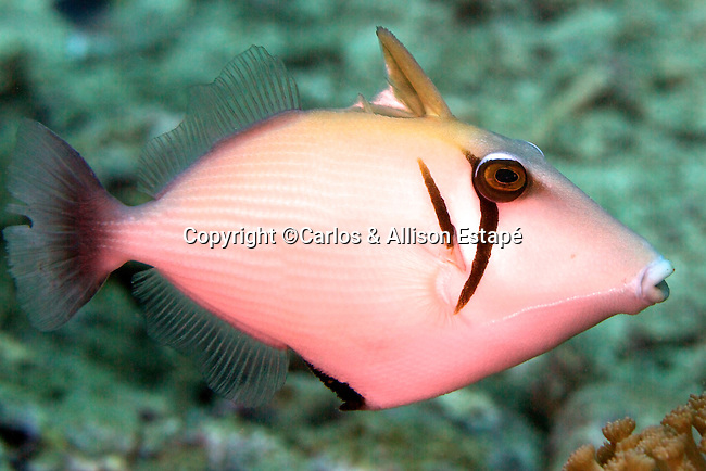 Sufflamen bursa, Scythe triggerfish, Raja Ampat, Indonesia