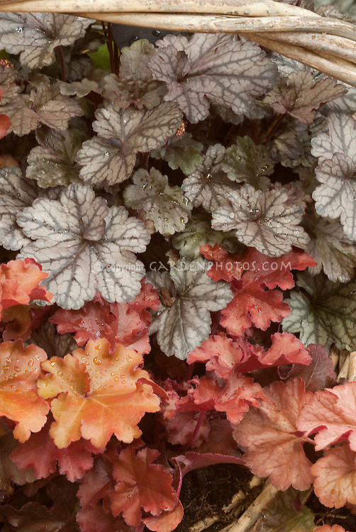 Two different kinds of heucheras Heuchera 'Silver Light' + 'Mahogany'