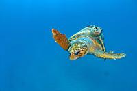 Mating Loggerhead Sea Turtles (Caretta caretta) offshore Palm Beach, Florida, USA, Atlantic Ocean Florida is home to half the world's population of Loggerheads, and Palm Beach County a major nesting area.