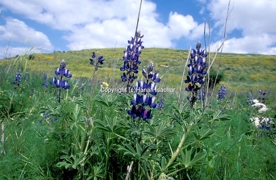 Israel, Blue Lupinus at Haela Valley