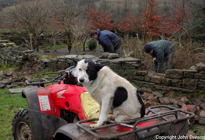 Sheepdog Lucky waiting for Robert Scott and Steven Whitehead while they repair stone walls on rented land near R. and M. Scotts Thirwall Castle Farm, Greenhead, Brampton, Carlisle, Cumbria.