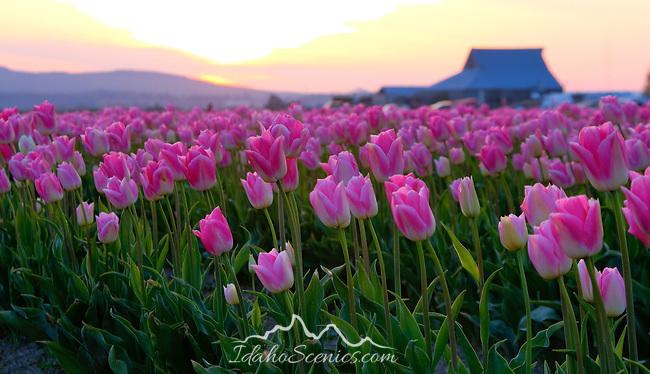 Washington, Western, Skagit Valley, Mt. Vernon. The tulip fields during the Skagit Valley Tulip Festival, in April, 2011.