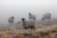 Swaledale ewes in the frost, Hope Moor, Co Durham...Copyright John Eveson 01995 61280.j.r.eveson@btinternet.com