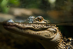 USA, Tennessee, Chattanooga, Crocodile surfacing at Tennessee Aquarium