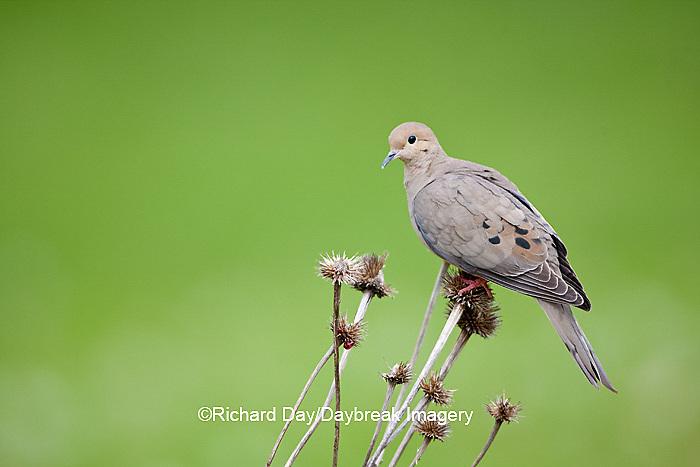 01081-01118 Mourning Dove (Zenaida macroura) on seed head of Purple Coneflower (Echinacea purpurea) Marion Co,.IL