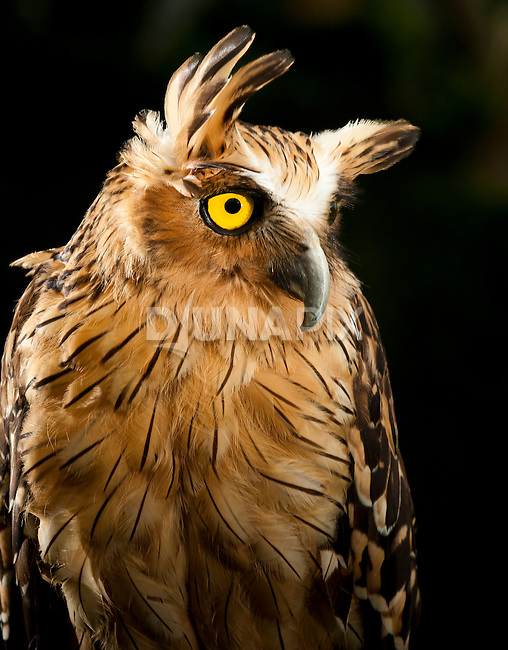 Buffy Fish-owl, Bali Bird Park