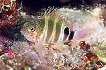 Amblycirrhitus pinos, Redspotted hawkfish, Florida Keys