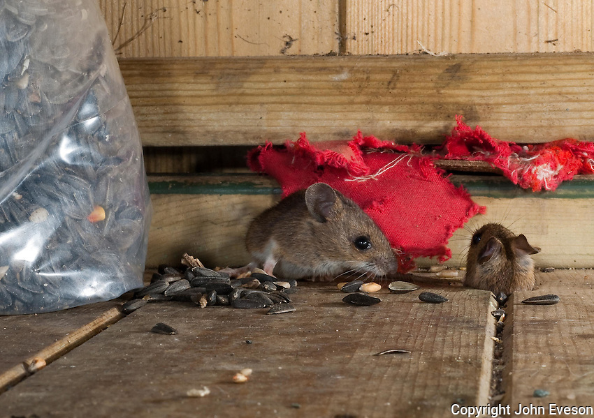 Wood mouse (Apodemus sylvaticus), also called the long-tailed field mouse in a feed store.