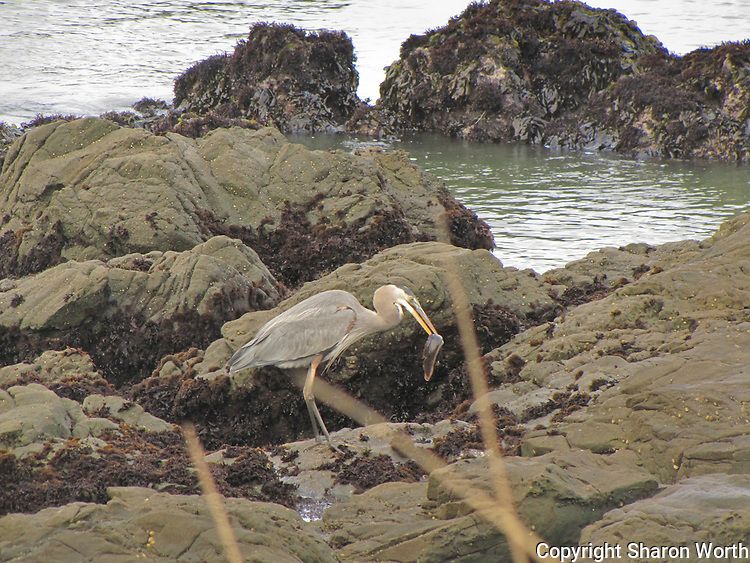 Prowling the rocks at Bean Hollow State Beach, a great blue heron has snared an eel for breakfast.