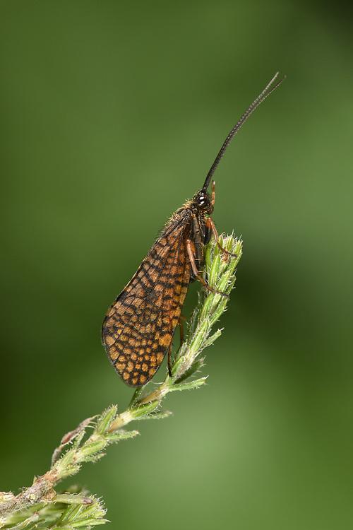 Window-winged Sedge - Hagenella clathrata