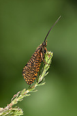 Window-winged Sedge - Hagenella clathrata