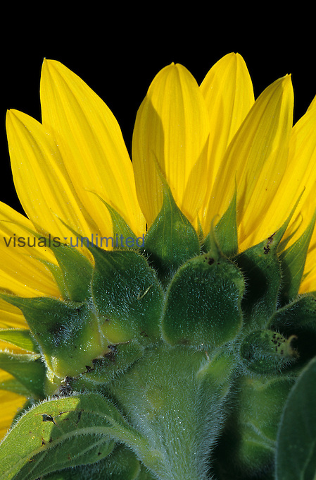 Sunflower ,Helianthus annuus, close-up of sepals and petals viewed from behind.