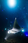 The manta ray dive on the big island of Hawaii is one of the more spectacular and graceful things you will ever see.
