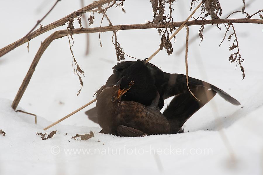 Amsel, Männchen und Weibchen kämpfend im Winter, Kampf, Schwarzdrossel, Drossel, Turdus merula, blackbird, Merle noir
