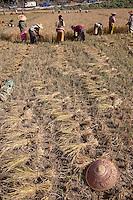 Myanmar, Burma, near Kalaw.  Burmese Harvesting Rice by Hand.