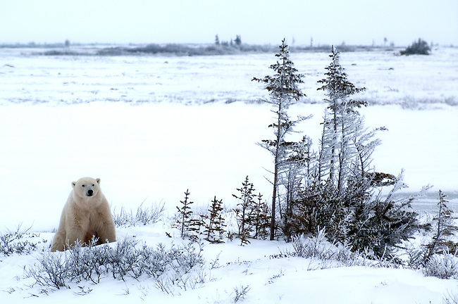 adventure, Arctic, Arctic Fox, Beach, Bus, Canada, carnivore, Churchill, cold, freeze, Hudson Bay, ice, Julie Quarry, Manitoba, maritime bear, natural environment, Natural Habitat Adventures, north, odyssey, Pentax, photograph, photography, PhotoQuarry, Polarbear, Polarbears, seaport, snow, tour, tourism, Tours, travel, Tundra, Tundra Buggy, Ursus manitimus, viewing, vulnerable species, white, Wildlife