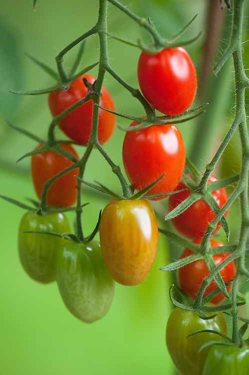 Tomato 'Ambrosia', greenhouse, mid September.