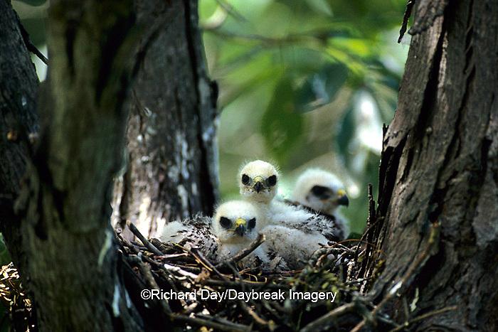 00797-00218 Broad-winged hawk (Buteo platypterus) juvenals at nest site    IL