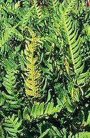 Gewöhnlicher Tüpfelfarn, Engelsüß, Engelsüss, Sori, Sorus auf der Blattunterseite, Polypodium vulgare, common polypody