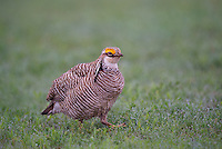 572110220 a wild male  lesser prairie chicken tympanuchus pallidicinctus an endangered species at a lek on a ranch near canadian texas united states