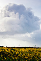 Growing from the east, a cloud moves slowly over bright yellow Field mustard toward the Pigeon Pont Lighthouse.