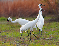 Whooping crane family. Note that one adult bird is fitted with a band and what appears to be a transmitter. The young bird had a brown head a month ago. These pics on 2/22/11.