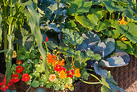 Edible flower herb Tropaeoleum nasturtiums variegated Alaska, zucchini courgette squash vegetable, corn, growing in raised bed container garden mixture of flowers and veggies aka Cavalo Nero kale