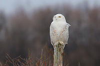 Immature male Snowy Owl (Bubo scandiacus) perched on a fence post. Wolfe Island, Ontario. February.