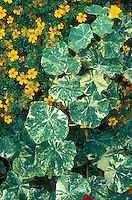 Tropaeolum 'Jewel of Africa' variegated nasturtium foliage & Tagetes 'Golden Gem' marigold