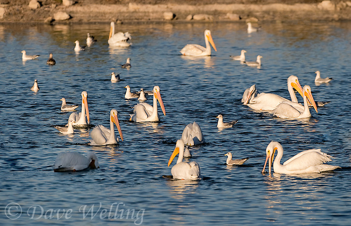570040008 a flock of wild white pelicans pelecanus erythrorhynchos swim and feed in a small bay on salton sea national wildlife refuge california