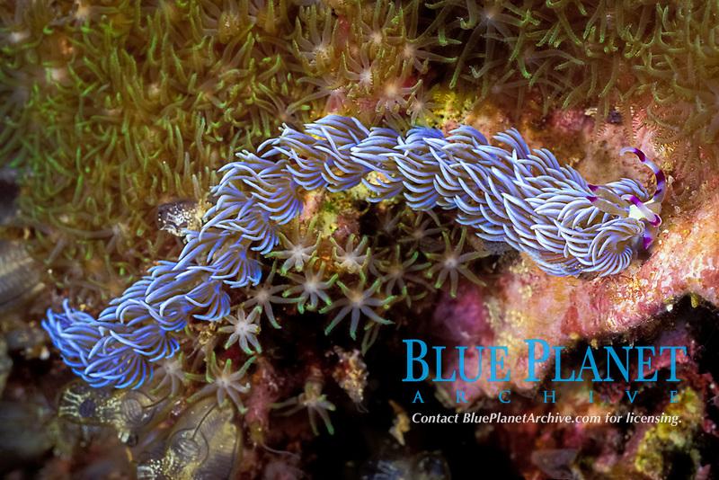 blue dragon nudibranch, or sea slug, Pteraeolidia ianthina, farms algae within cerata to produce food, Gato Island Marine Reserve, near Malapascua, off Cebu Island, Philippines