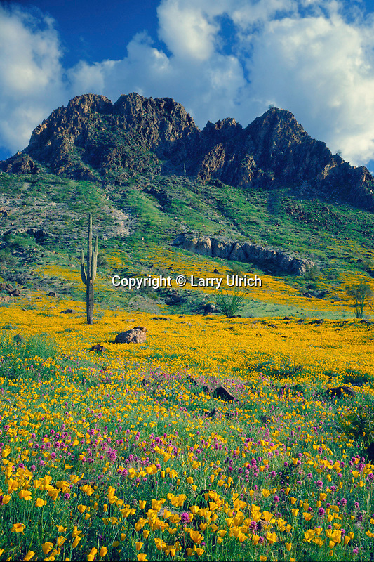 Mexican goldpoppy, red owl's-clover<br />