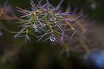 Water drops on Cryptomeria Japonica,  fine art, environmental, nature, ecology, ecosystem, environmentalism,    ©2013. Jim Bryant Photo. ALL RIGHTS RESERVED.