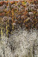 Eupatorium maculatum 'Atropurpureum'