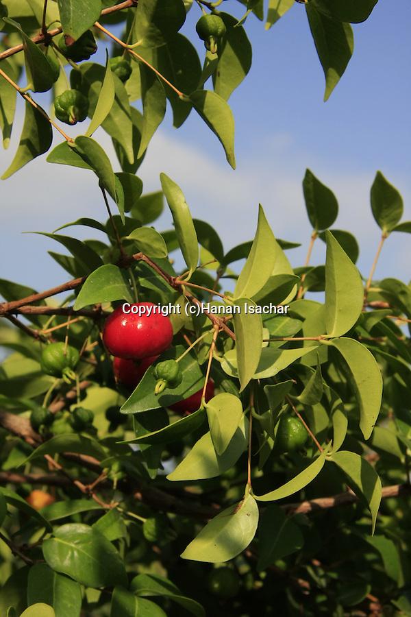 Israel, Carmel Coastal Plain. Pitange tree at Bustan Hacarmel tropical tree garden