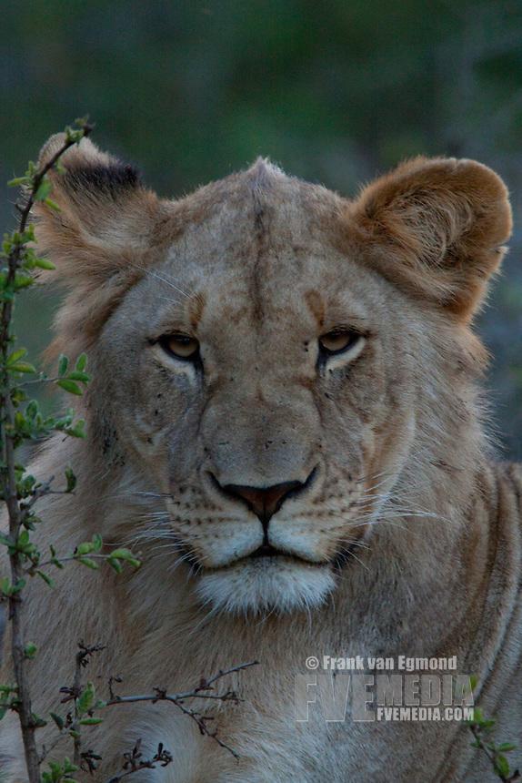 Lioness (Panthera Leo)..Portrait..Winter, May 2009..Hluhluwe-Imfolozi Game Reserve, Kwazulu Natal, South Africa.