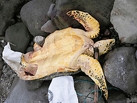 hawksbill sea turtle, Eretmochelys imbricata, after it has been killed by gaffing illegally in marine reserve, Dominica, Caribbean, Atlantic