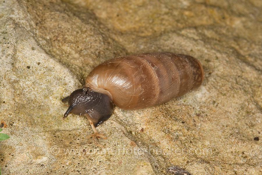 Stumpfschnecke, Stumpf-Schnecke, Rumina decollata, decollate snail, Sizilien