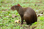Central American Agouti, Dasyprocta punctata, Panama, Central America, Gamboa Reserve, Parque Nacional Soberania