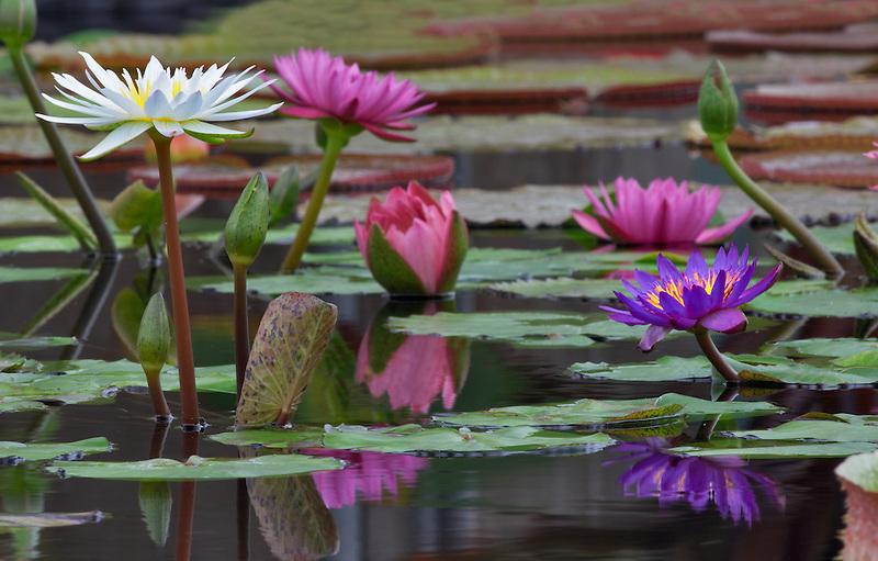Amazon lillies, Hughes Water Gardens, Oregon.