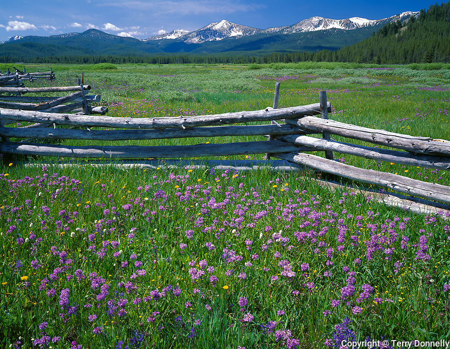 Sawtooth National Recreation Area, ID<br /> Weathered rail fence in a meadow of Rydberg's penstemon (Penstrmon rydbergii) in the Challis National Forest - Sawtooth Range in the distance