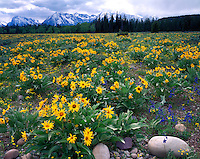 Field of Arrowleaf Balsamroot (Balsamoriza sagittata) below the Teton Range; Grand Teton National Park, WY
