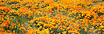 California poppy field, California